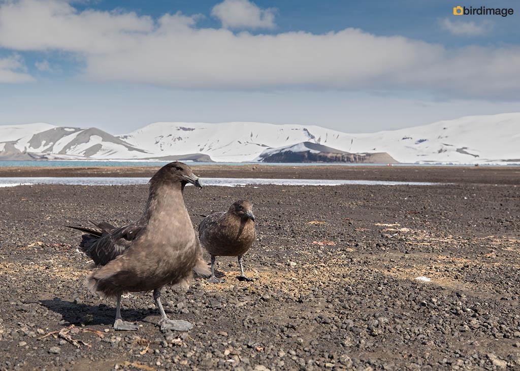 Zuidpooljager – South Polar Skua