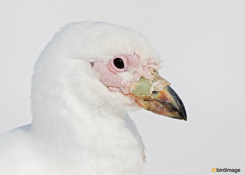 Zuidpoolkip – Snowy Sheathbill