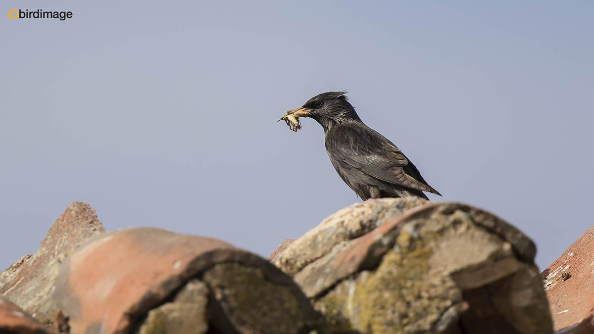 Zwarte spreeuw – Spotless Starling