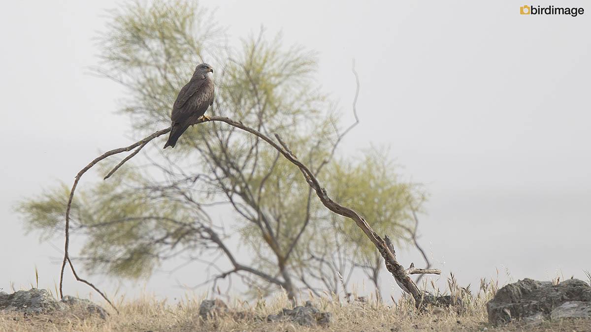 Zwarte wouw – Black Kite