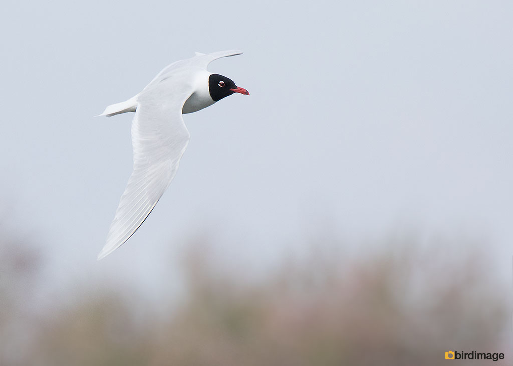 Zwartkopmeeuw – Mediterranean Gull