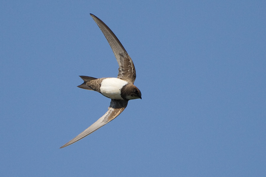 Alpengierzwaluw – Alpine Swift
