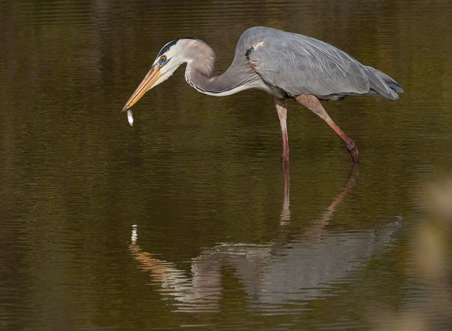 Amerikaanse blauwe reiger – Great Blue Heron