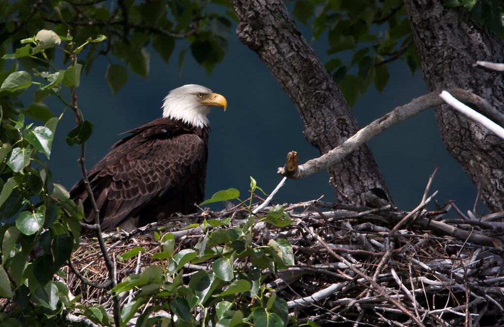 Amerikaanse Zeearend – Bald Eagle