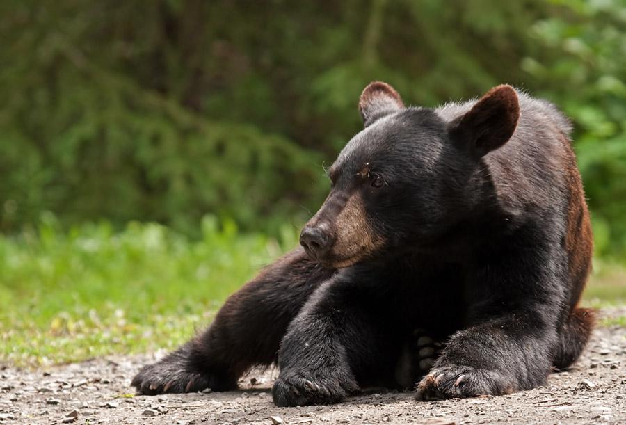 Amerikaanse zwarte beer – American Black Bear