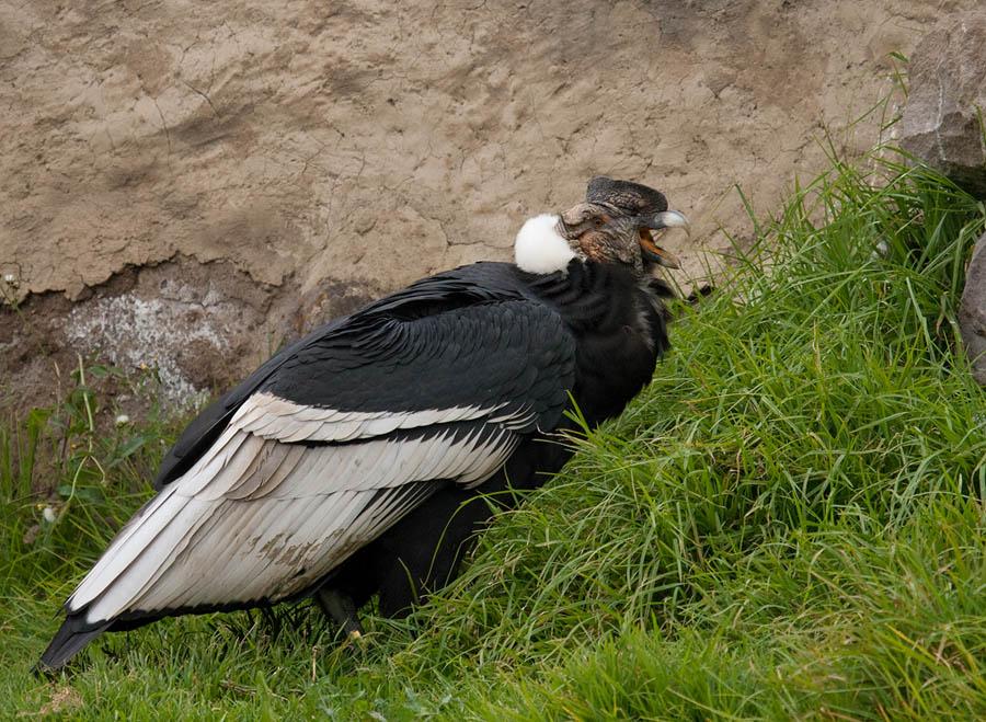 Andescondor – Andean Condor
