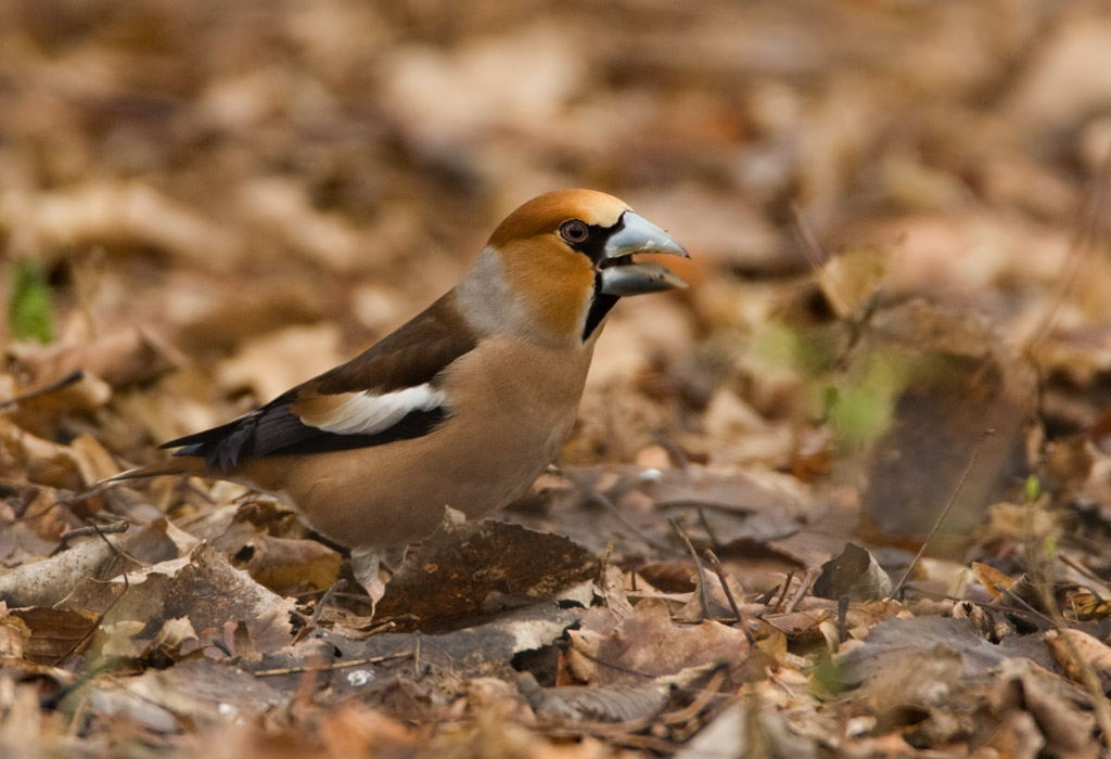 Appelvink – Hawfinch