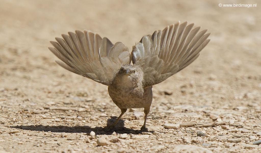 Arabische babbelaar – Arabian Babbler