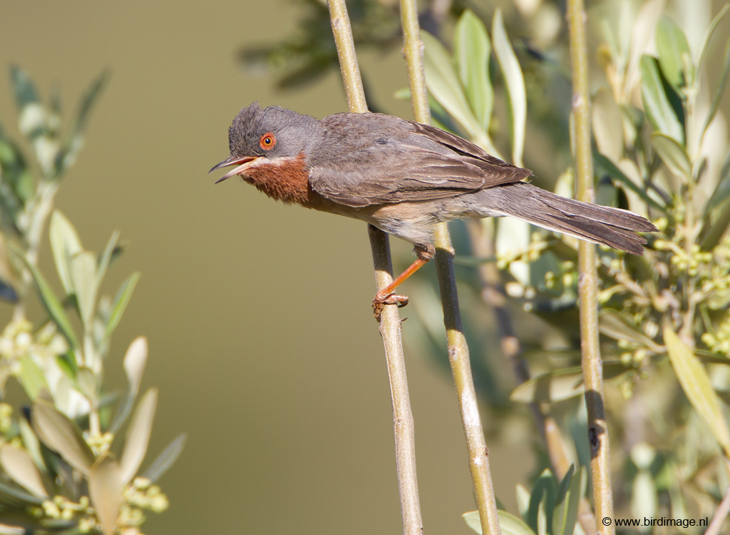 Baardgrasmus – Subalpine Warbler