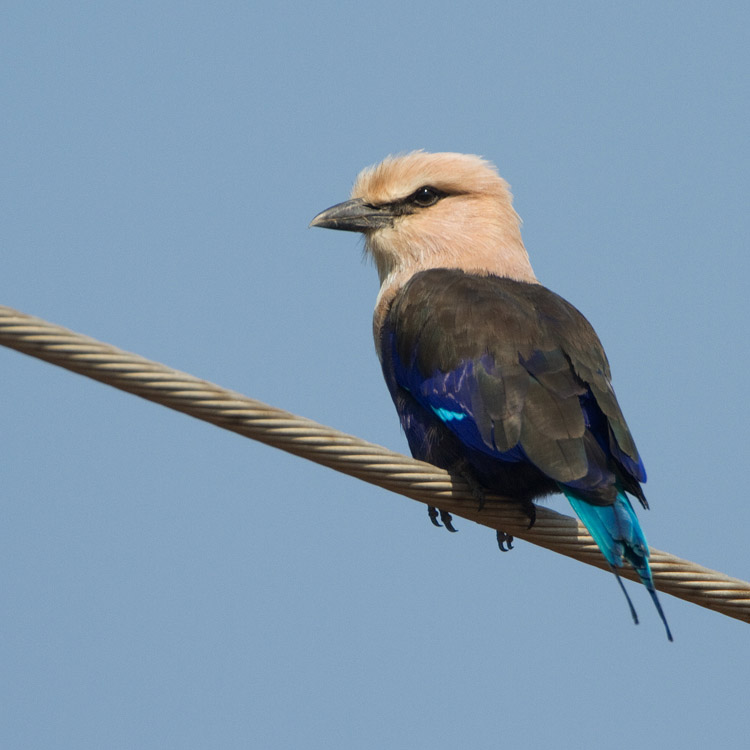 Blauwbuikscharrelaar – Blue-bellied Roller