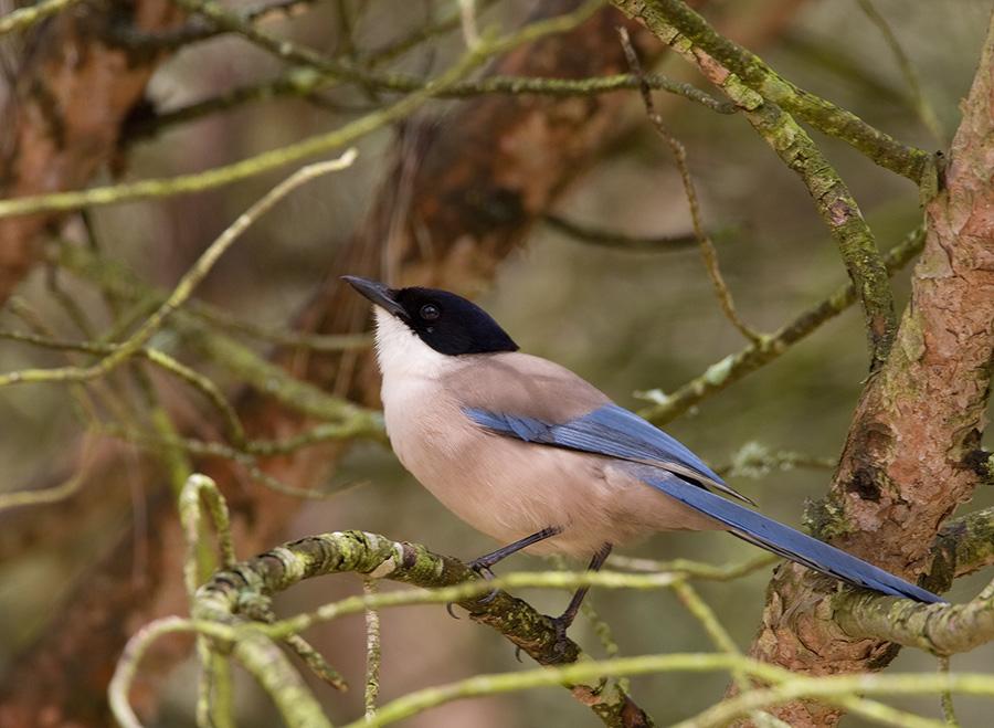 Blauwe ekster – Azur-winged Magpie
