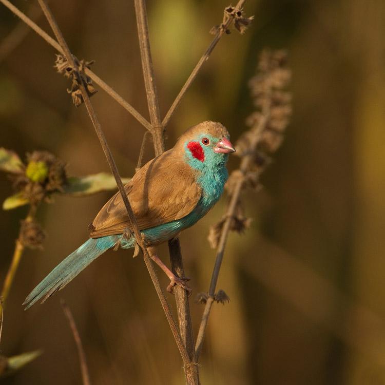 Blauwfazantje – Red-cheeked Gordon-blue