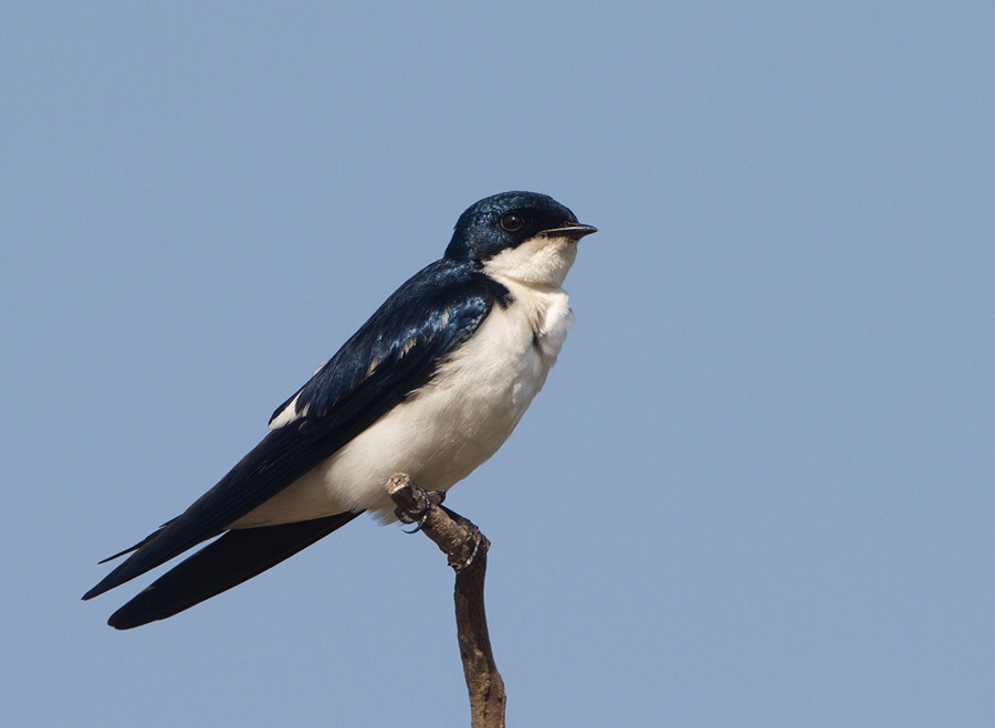 Bontvleugelzwaluw – Pied-winged Swallow