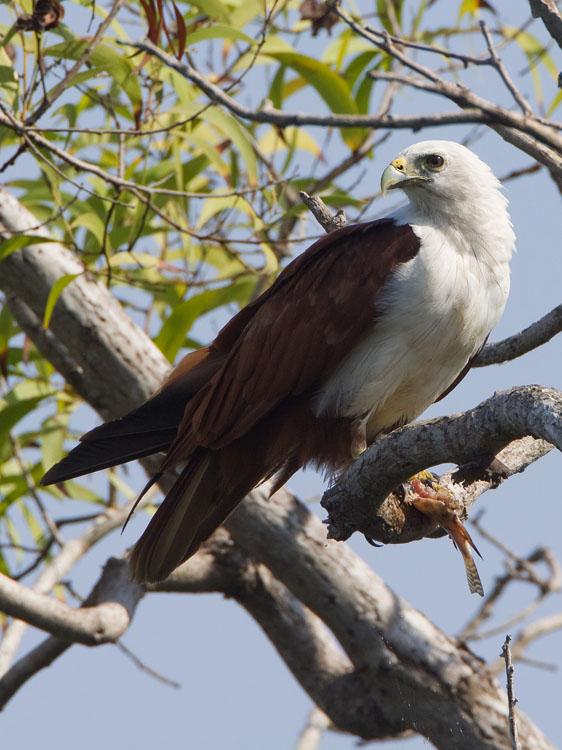 Brahmaanse wouw – Brahminy Kite