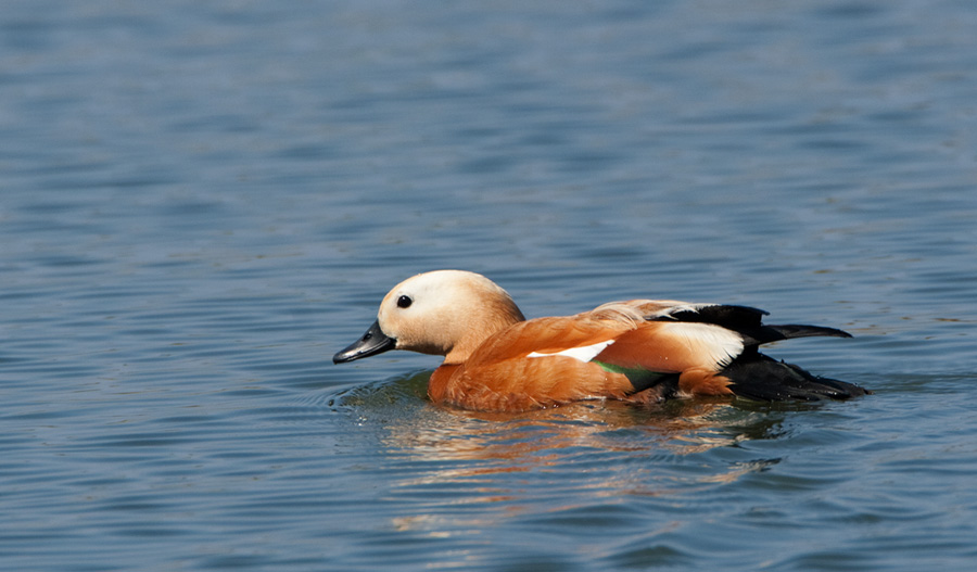 Casarca – Ruddy Shelduck