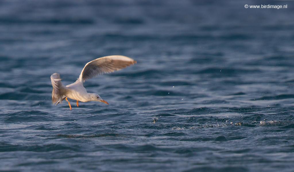 Dunbekmeeuw – Slender-billed Gull