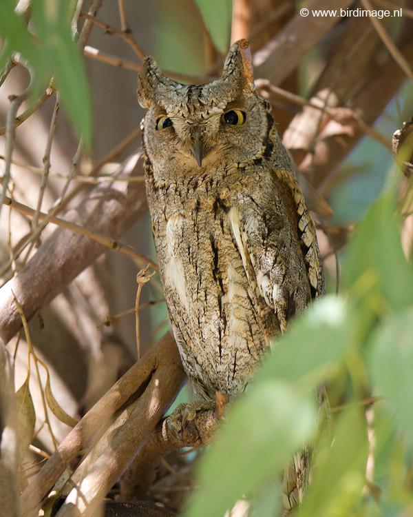 Dwergooruil – European Scops Owl
