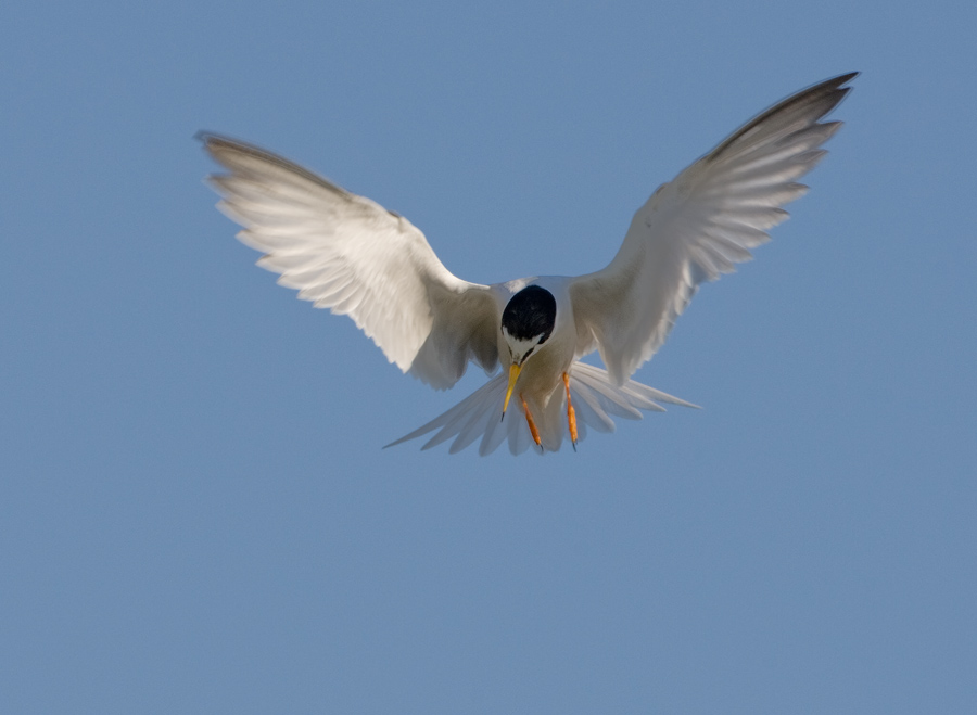 Dwergstern – Little Tern
