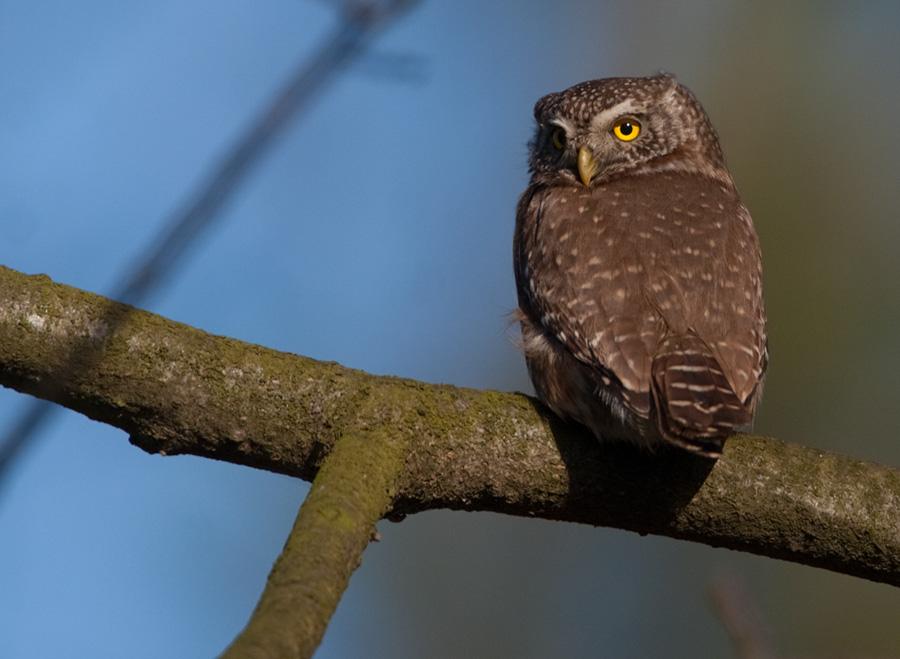 Dwerguil – Pygmy Owl