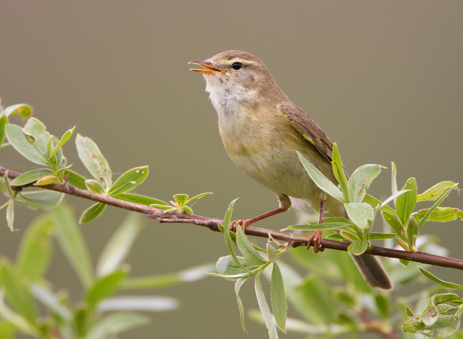 Fitis – Willow Warbler