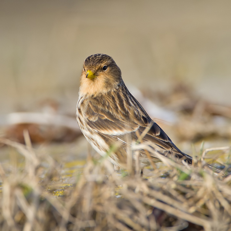 Frater – Twite