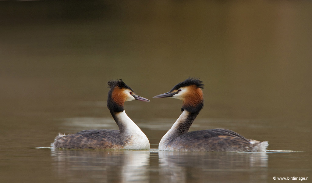 Fuut – Great Crested Grebe