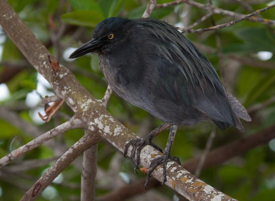 Galapagos reiger – Lava Heron