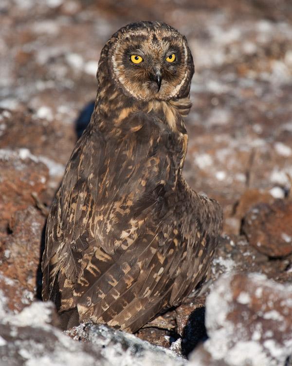 Galapagos velduil – Galapagos Short Eared Owl