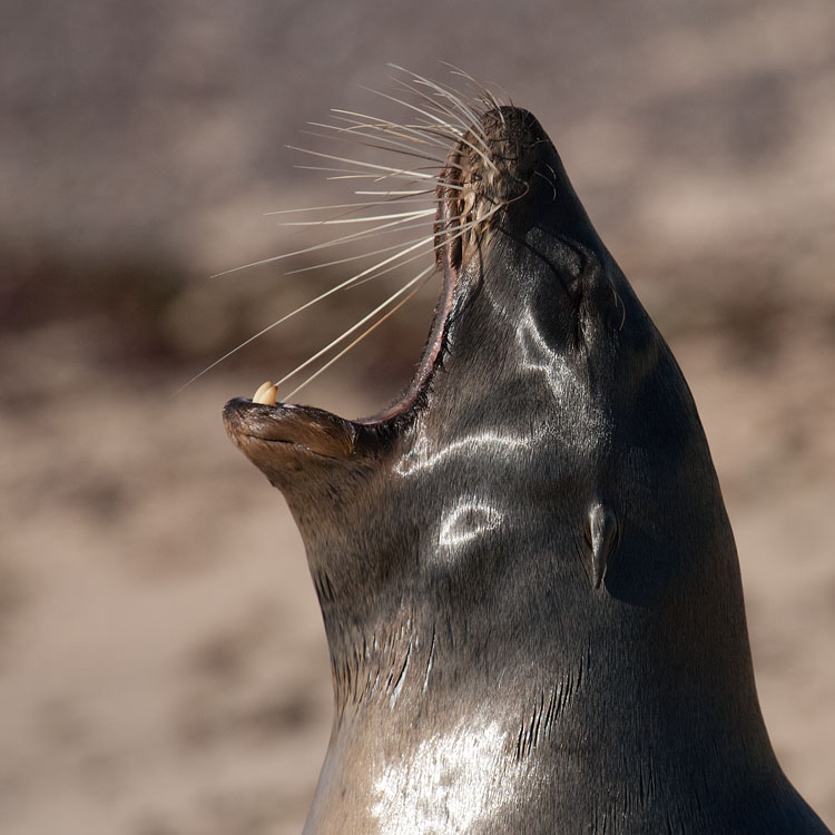 Galapagos zeeleeuw – Galapagos Sea Lion