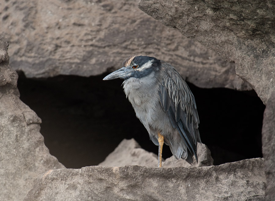 Geelkruinkwak – Yellow-crowned Night Heron