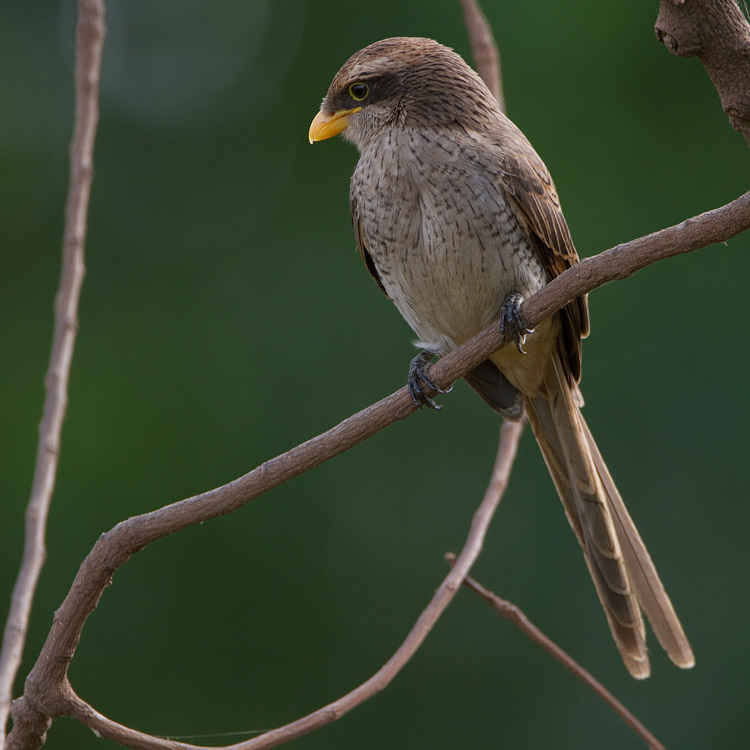 Geelsnavelklauwier – Yellow-billed Shrike