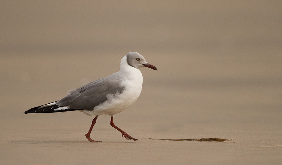 Grijskopmeeuw – Grey-headed Gull
