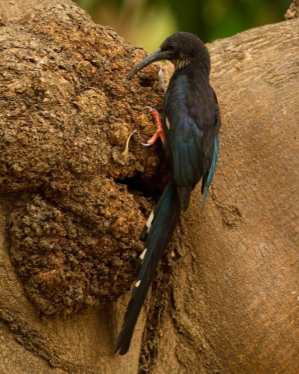 Groene Kakelaar – Green Wood Hoopoe