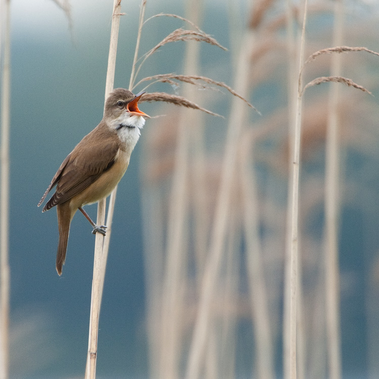 Grote karekiet – Great Reedwarbler