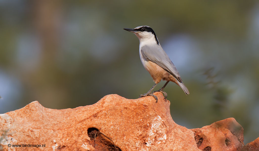 Grote Rotsklever – Eastern Rock-nuthatch