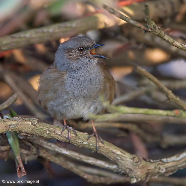 Heggenmus – Dunock of Hedge accentor