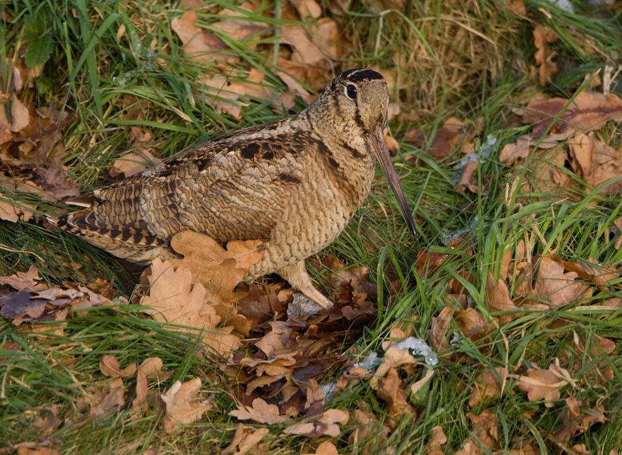 Houtsnip – Woodcock