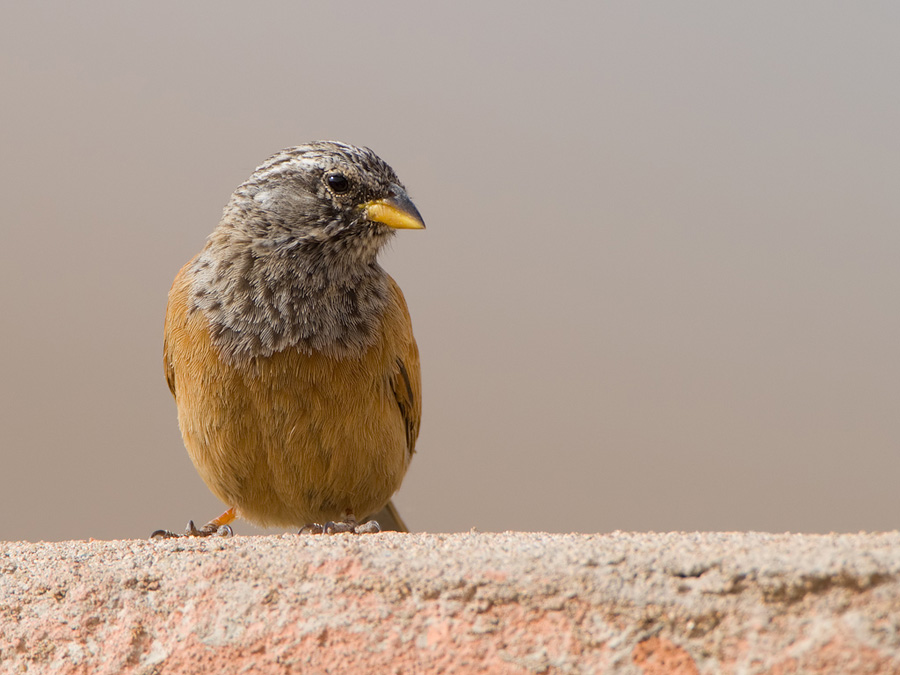 Huisgors – House Bunting