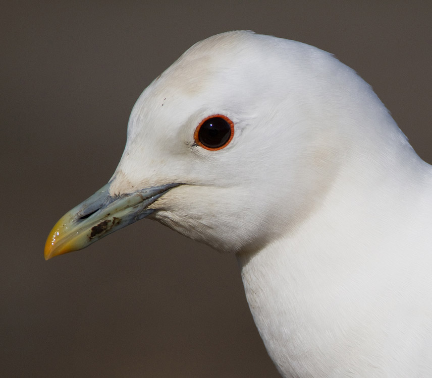 Ivoormeeuw – Ivory Gull