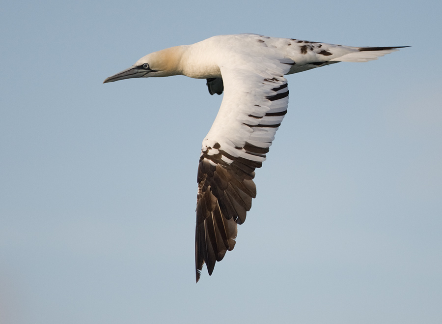 Jan van Gent – Northern Gannet