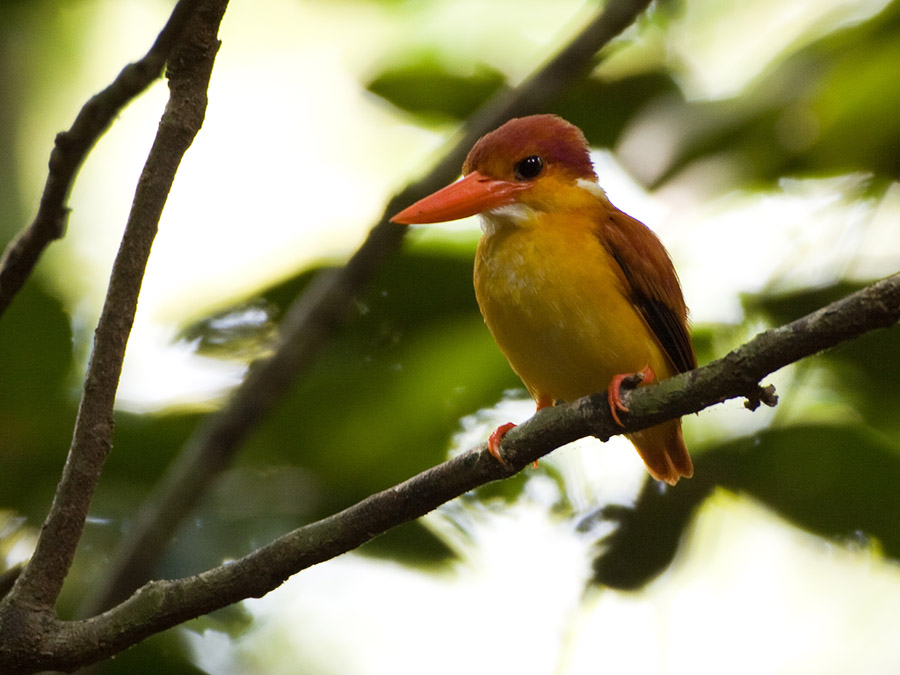 Jungle dwergijsvogel – Oriental Dwarfkingfisher