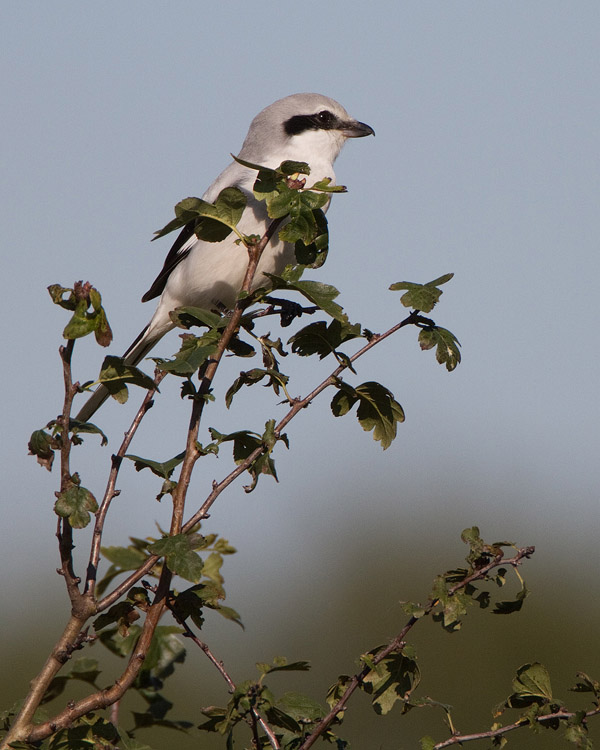 Klapekster – Great Grey Shrike
