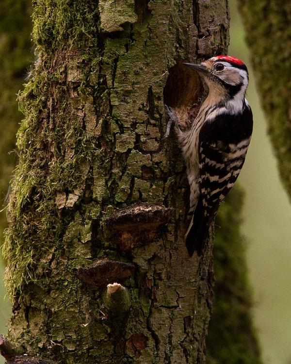 Kleine bonte specht – Lesser Spotted Woodpecker
