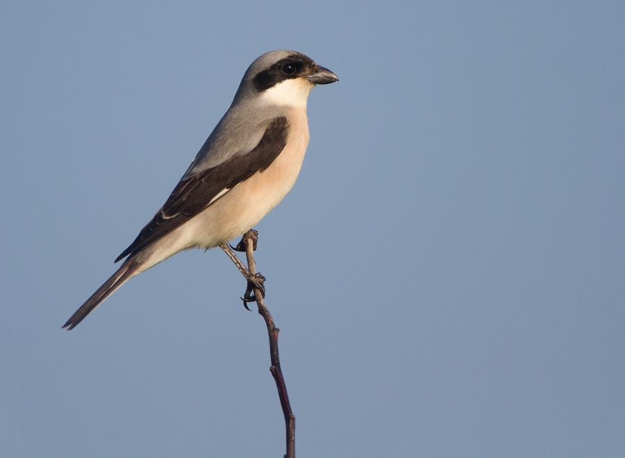Kleine klapekster – Lesser Grey Shrike