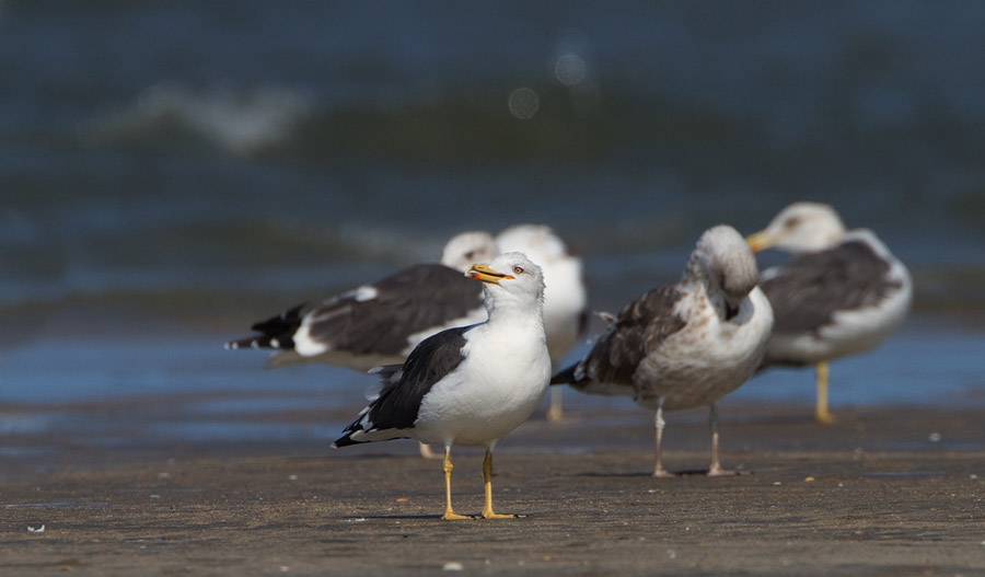 Kleine mantelmeeuw – Lesser Black-backed Gull