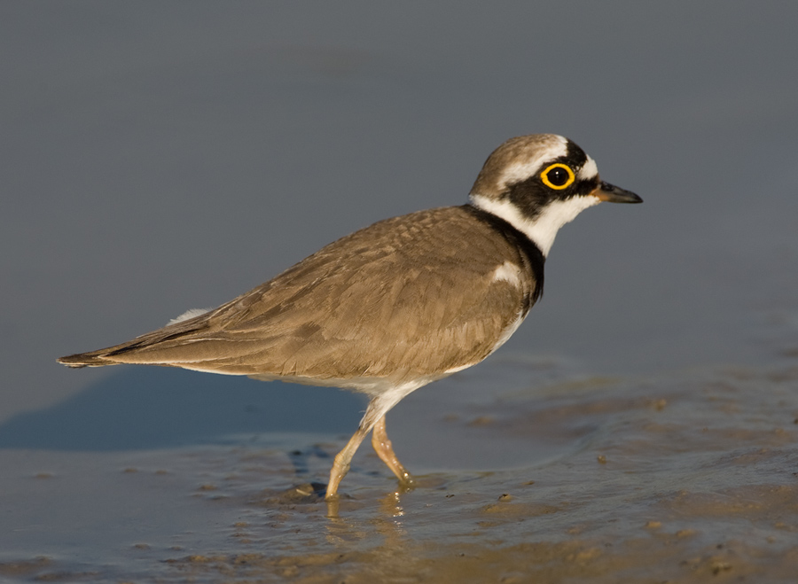 Kleine plevier – Little Ringed Plover