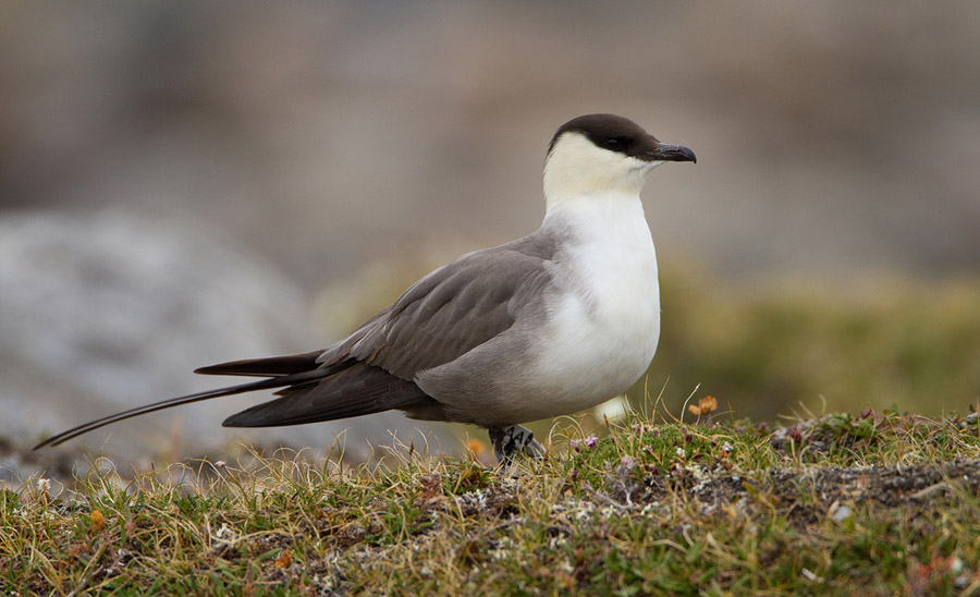 Kleinste jager – Long-tailed Skua