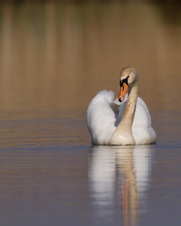 Knobbelzwaan – Mute Swan