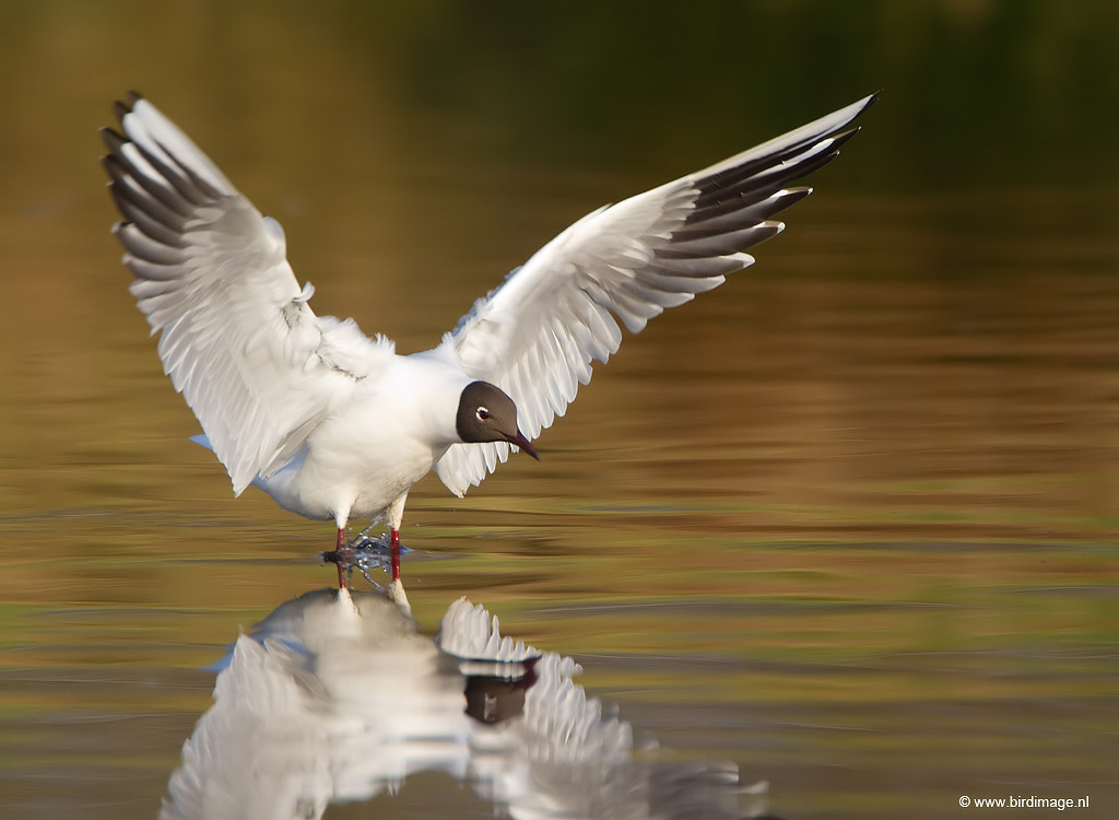 Kokmeeuw – Black-headed Gull