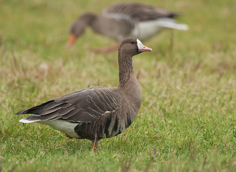 Kolgans – White-fronted Goose